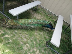 Peacock full feathers